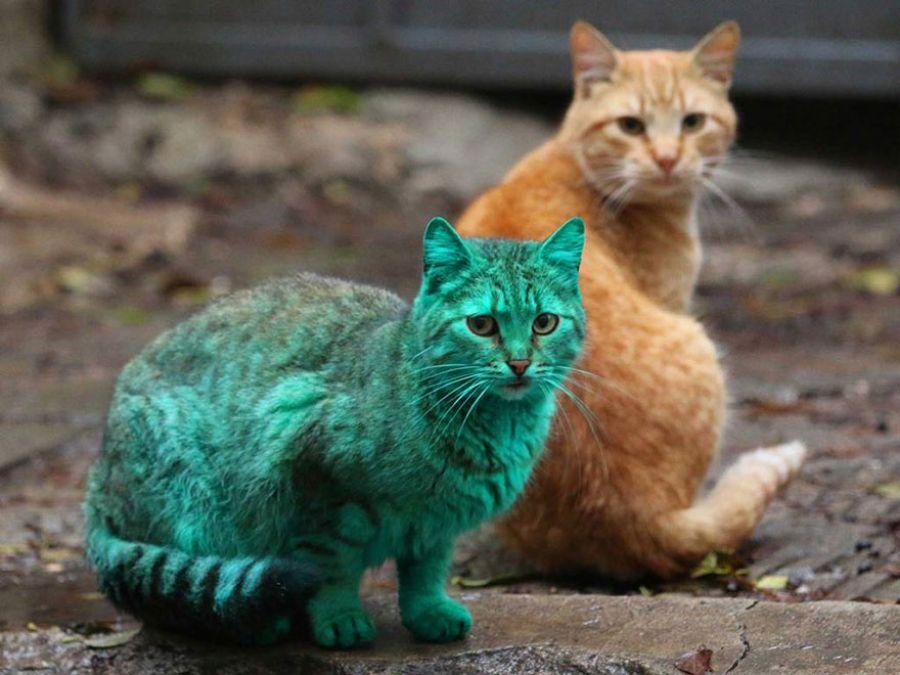 Mladá farebná mačička